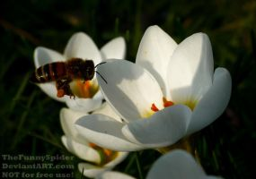 First Honey Bee of the year by TheFunnySpider