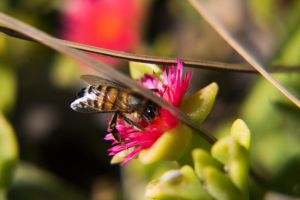 North American Honey Bee by dannypyle