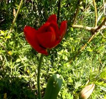 Red tulip 2 4.24.13 by Bizee1
