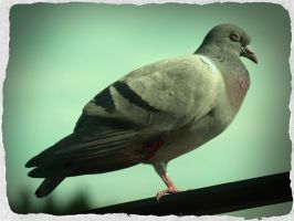 pigeon by w3rry