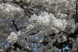 I do like cherry blossoms by DizzlyWib