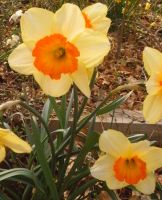 Easter Daffodil Means: by AceOfStCanardKLy