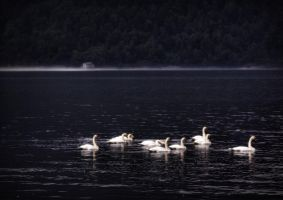 Swans by Mizth