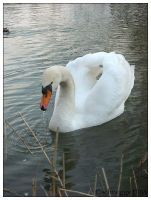 swan 04 by schnegge1984