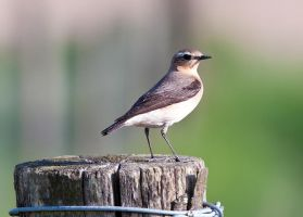 Nothern wheatear by pixellence2