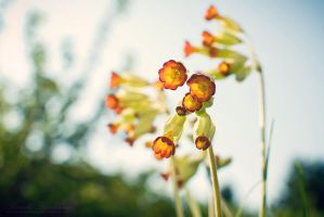 Cowslips 2 by howtiee93