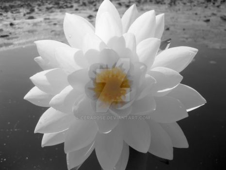 Water Lily 2 by CeraRose