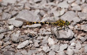 Yellow Dragonfly by Gbrlit