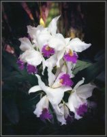 Soft Orchids by Tailgun2009
