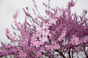 Cherry Blossoms Stock 8 by FairieGoodMother