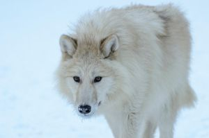 Arctic Wolves IXX by White-Voodoo