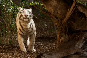 White Tiger by v4nity