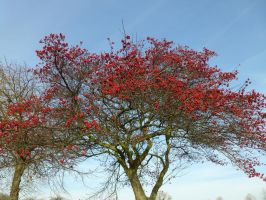 Bright Blue Sky,Bright Red Berries,Cool Brown Bark by SrTw