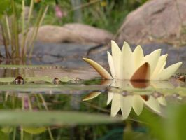 water lily by echeveria