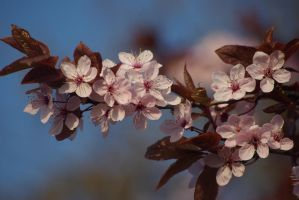 me blossom by cheah77