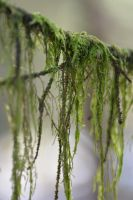 moss hanging in a tree by linedal
