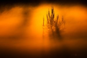 Pine In The Mist by JoniNiemela