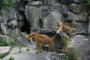 playful_Tigers17 by Adarion