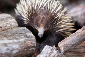 Ernie the Echidna 2 by FireflyPhotosAust