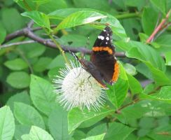 Red Admiral Butterfly on Buttonbush 9b by Windthin