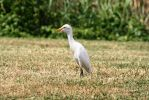 Cattle Egret - Bayou Savage Wildlife Refuge by Shadow848327