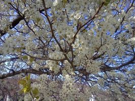 blooming tree by seaglasshunter