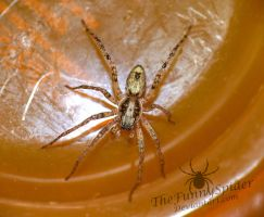 Female Anyphaena accentuata - Body by TheFunnySpider