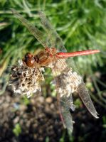 Dragonfly by Hannekee