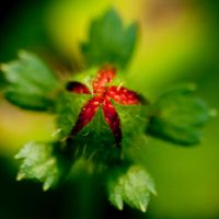 wild strawberry by GerbenT