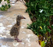 Baby Gull on Lampione by Faunamelitensis