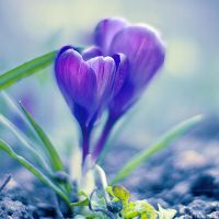 crocus. by simoendli