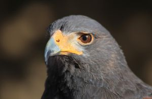 Harris's Hawk 2277 by mammothhunter