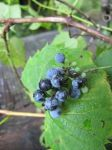 Wild Grapes 3 by Windthin