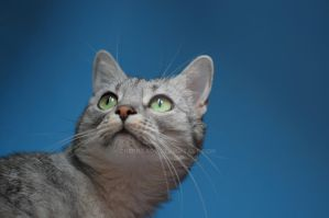 Cat on a blue background by cherrilady