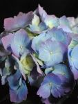 Blue Hydrangea Close Up by bloomingvinedesign