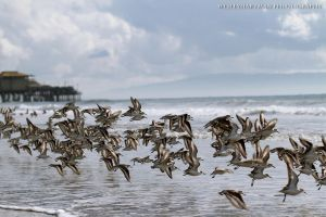Santa Monica Beach Birds by WesHPhotography
