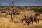 Wildebees by gmwebs