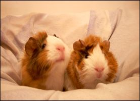 Guinea pigs by Grimmjow89
