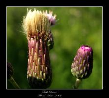 Thistle Down 2 by altered-states