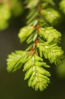 Wet Hemlock by froggynaan