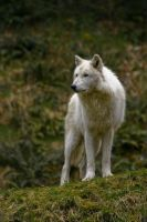 White Wolf by micahbowerbank