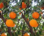 Stereograph - Orange Tree by alanbecker
