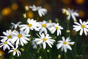 A Clump of Daisies by jot-woo