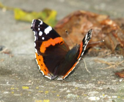 Red Admiral 1 by lars314
