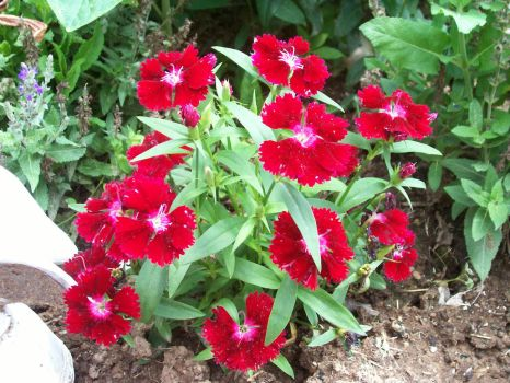 Dianthus by Shaleclaw1