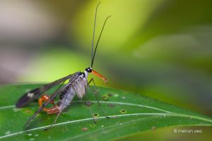 Scorpionfly by melvynyeo