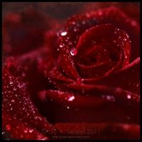 Red Rose by Lilyas