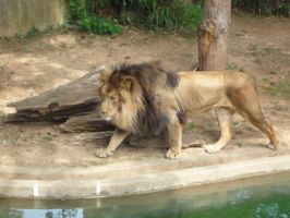 Lion 1 by raindroppe