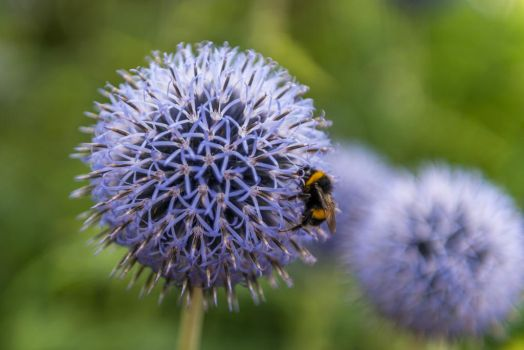 Blue Globe-thistle - Bumblebee by 1Niceguy1
