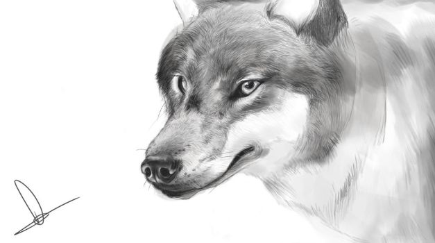Wolf sketch by RobynTrower